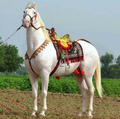 A white dressage horse similar to the ones coming to the Carnival