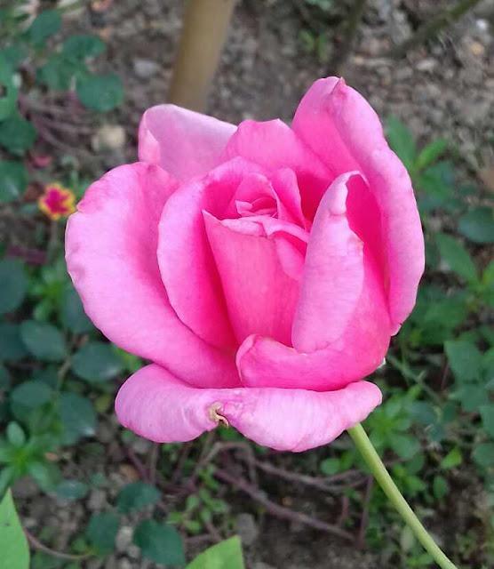 hoa hồng thơm nữ hoàng