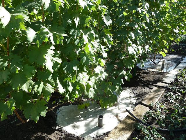 Полив и удобрение виноградных кустов осенью