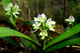 Orchid Flower Cluster