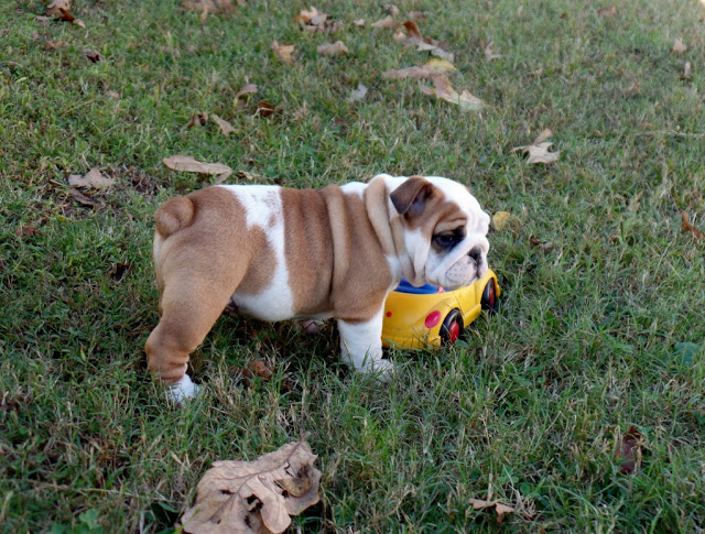 English Puppies Snellville Bulldogs Puppies For Adoptions