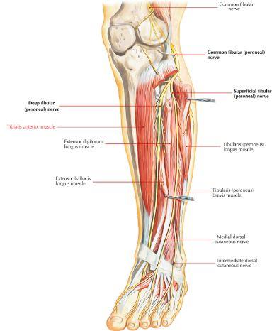 Anatomi tibialis anterior origo, insersi, aksi, saraf, arteri. Otot tibialis anterior merupakan otot yang menghasilkan sebuah gerakan dorsifleksi inversi.
