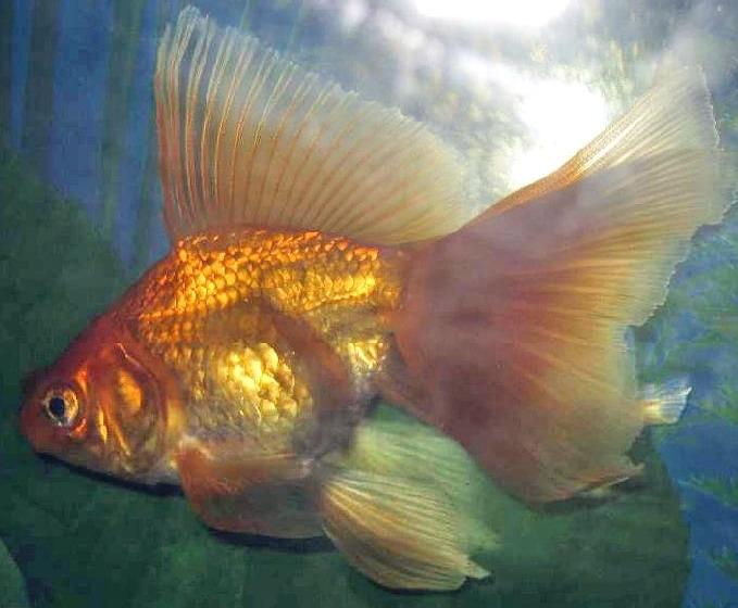 Все про тварин: Вуалехвост - акваріумна рибка (Carassius ...