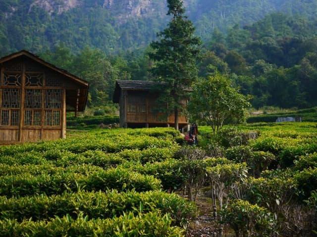 o cultivo e as propriedades do chá
