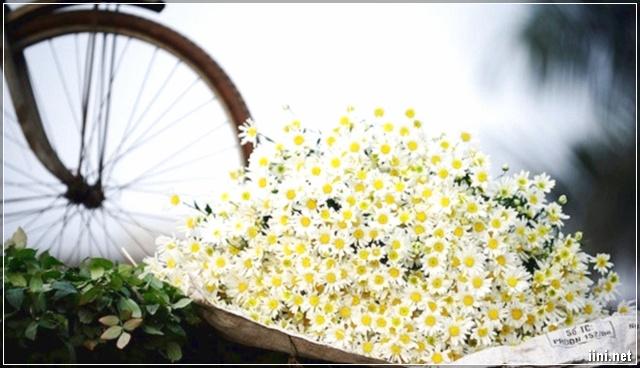 ảnh đẹp về hoa cúc họa mi