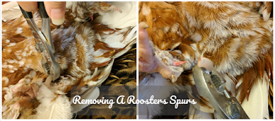 Removing a roosters spurs
