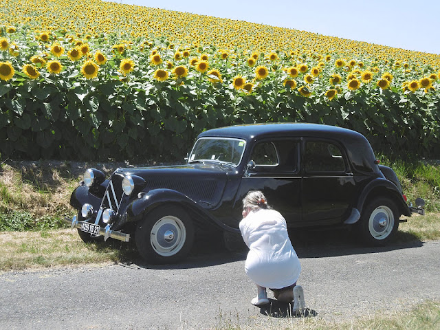 Sunflowers and Citroen Traction Avant being photographed. Touraine Loire Valley. France.