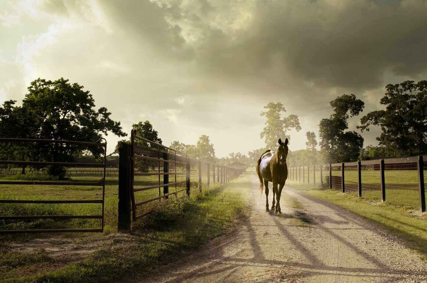 horse walking in from paddock - ask a farrier - what effect does a horse's immune system have on their feet