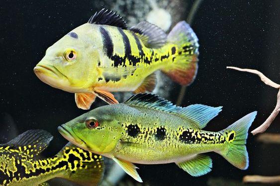 Jenis Ikan Peacock Bass ( Pbass ) Beserta gambarnya