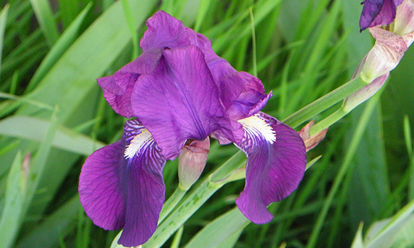Deep Purple Bearded Iris Blossom and Bud