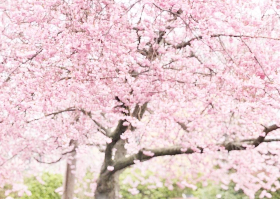 spring blooms, cherry blossoms, spring flowers