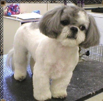 haircut styles for shih tzu dogs shih tzu grooming styles groomer s coquitlam 3781