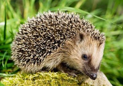 Hedgehog - Animals Beginning With H