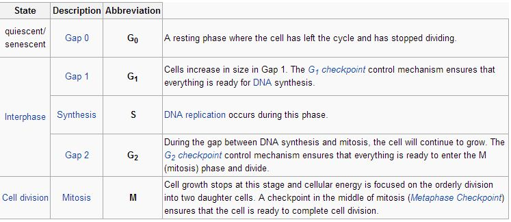 g1 phase s phase synthesis g2 phase collectively known as
