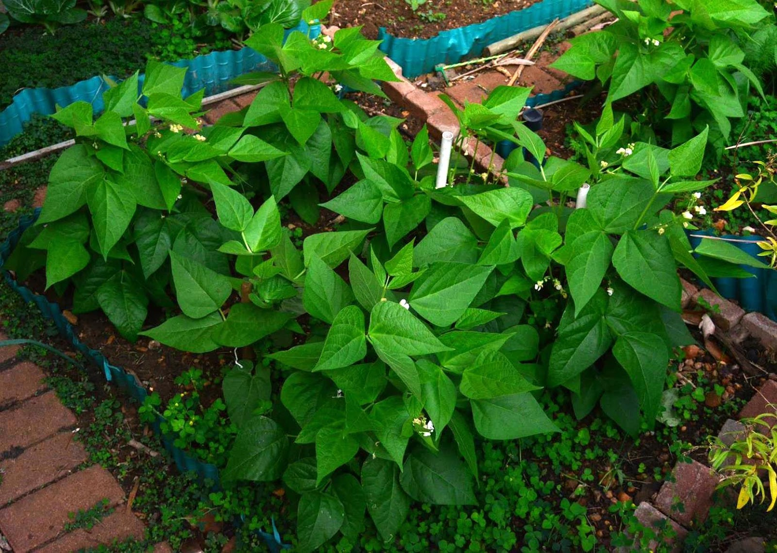 bean plant growth Brazilian journal of plant physiology  previous work also verified that although large seeds of a common bean cultivar increased plant growth,.
