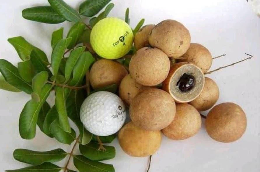bibit kelengkeng klengkeng lengkeng okulasi pingpong benih pohon tanaman buah bisa untuk tabulampot Sulawesi Selatan