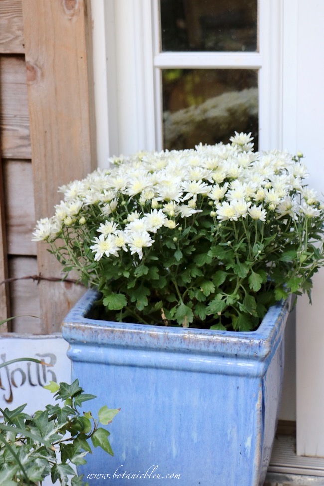 Fall Front Entry Garden With White Chrysanthemums in Blue Container