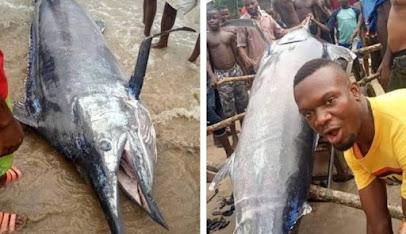 Ikan Blue Marlin yang ditangkap nelayan