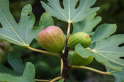 Figs growing on one of our fig trees
