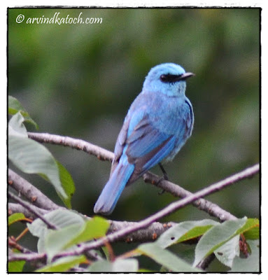 The Verditer Flycatcher (Eumyias Thalassinus)