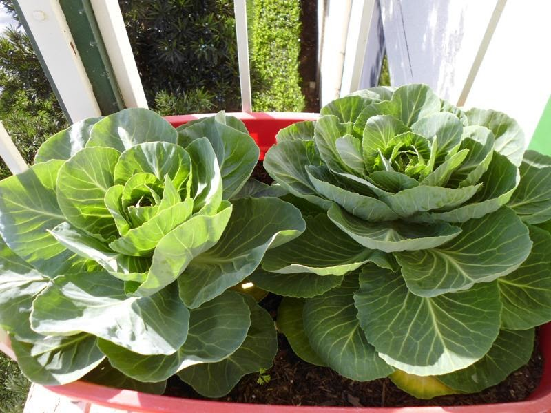 Remaining cabbages