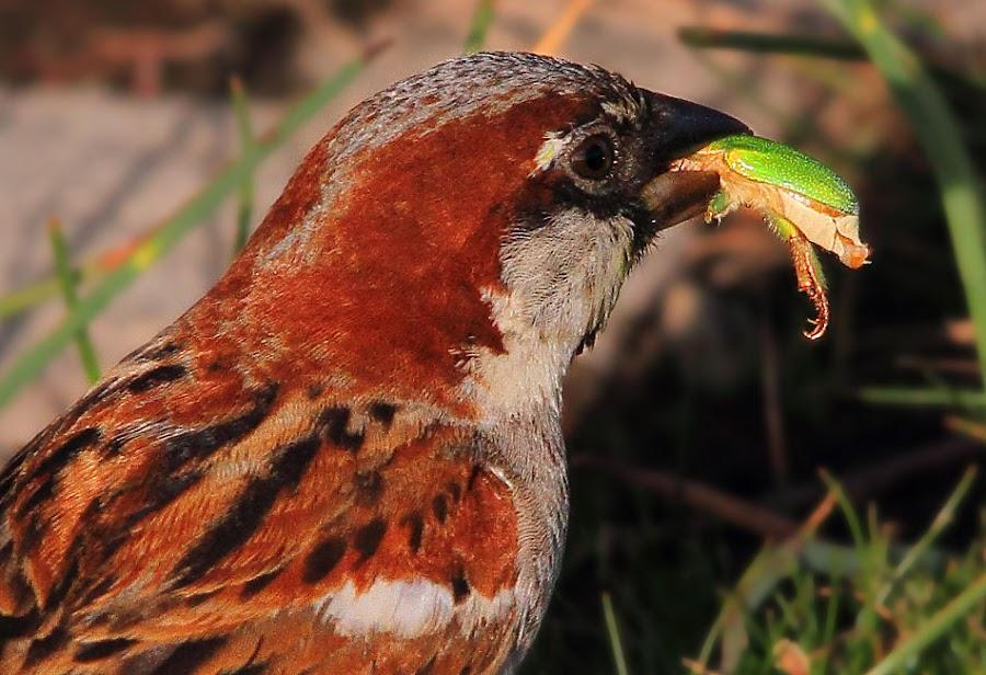gorrion comiendo