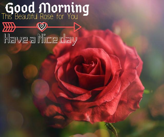 Lovely  Rose Good Morning Images