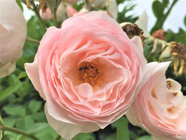 hellrosa farbene Rose