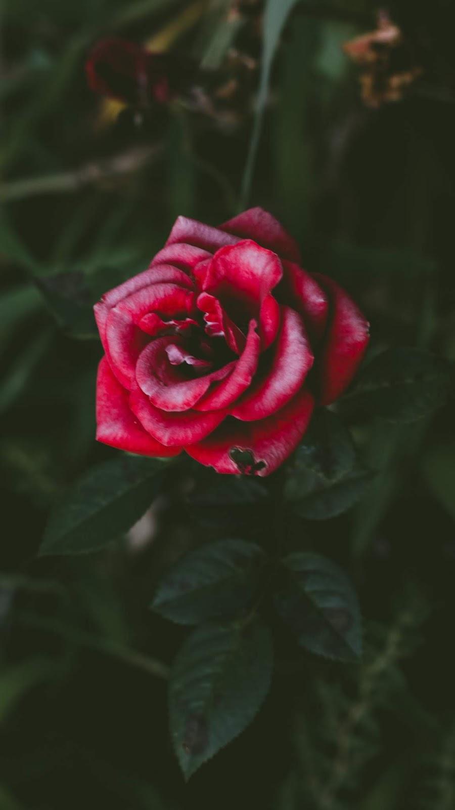 Red rose wallpaper phone