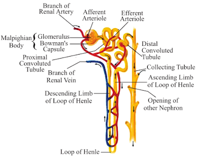 Notes of ch 6 life process part ii class 10th science study rankers functions of nephron ccuart Choice Image