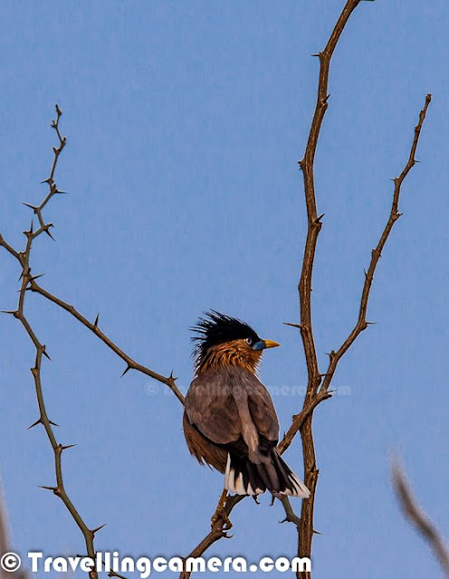 "Brahminy Starling  This is the beginning of a new month and we are back with our Bird of the Month, and it is none other than the resilient starlings. You may think that you haven't ever seen a starling in your life, but believe me, you have. Starlings are present everywhere, whether it is the boisterous Mynahs or the spectacular rosy starlings. So you may not know it, but you have definitely seen a starling.        Bank Mynah  Starlings, the family that Myna belongs to, are resilient birds that are flexible and and adaptable. The month of May is symbolic of this strength. Weather-wise, things have suddenly started heating up and you need to take each day as it comes. For people like me, we have already started counting down to September when weather will start cooling down again. But starlings keep cruising through. And that is why, they are our Birds of the month of May.     Common Mynah  The name starling is a little too dainty for a boisterous and noisy bird like a common mynah. Common Mynah is probably the most common of all starlings in North India. There are often seen in large murmurations (that's what a group of starlings is called) and are viciously territorial. These birds eat anything at all and have adjusted to the Urban environment quite well.     Pied Starling  In fact at some places the species is considered invasive and is thought to be capable of having a long-term impact on the environment. In Australia, these birds are considered pests. Whereas, in some countries, they are popular cagebirds because of their incredible vocal abilities. And I totally believe that. You should hear how talkative a flock of mynahs can be. The birds do pair for life, and probably keep screaming at each other all the time.      Brahminy Starling  Bank Mynah is quite similar to the common mynah, except that it has a patch of wrinkled orange skin behind its eyes, instead of the yellow one that the common mynah sports. Bank Mynah is smaller in size and has a paler plumage too. These mynahs are usually found close to waterbodies, and hence the name. Rest of the habits are very similar to those of a common mynah.     Pied Starling  Another mynah that looks similar is the Jungle Mynah, though it lacks the patch of skin around the eye. It has pale eyes and a crop of hair around its beak. It is found all over India, except for the arid areas.     Pied Starling  The name ""Starling"" seems quite appropriate for this quieter, delicate, and more reserved relative of the mynah - the Brahminy Starling. With long, black, hair-like plume on its head, the Brahminy Starling is the glam icon of the Mynah family. I remember seeing this bird around our home in Sarojini Nagar and wondering whether it was related to Bulbul, mostly because the bulbul too sported a cool hairstyle.       Another starling that you would have probably seen is the pied mynah. It used to be quite common even in Delhi. It has now receded to the peripheries as have other species. This mynah is marked in black and white and has a yellowish bill with a reddish base. The skin around the eye is reddish, though the patch isn't as big as the common or bank mynah's.       Then there's the strangely named rosy starling, which does not look rosy to me from any angle. What they call pink, appears pale brown to me. However, this is the starling that has recently been in news for forming some spectacular murmurations. These birds are as gregarious as the rest of the starlings, but in places are thought to be extremely beneficial for farmers because they eat insects and pests.        This is all about starlings, we will be back again next month with the Bird of the month of June."