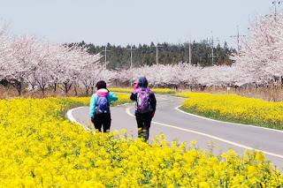 Pesona Pulau Jeju Korea Di Musim Semi