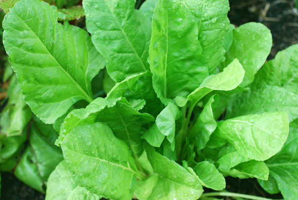 a healthy looking spinach plant