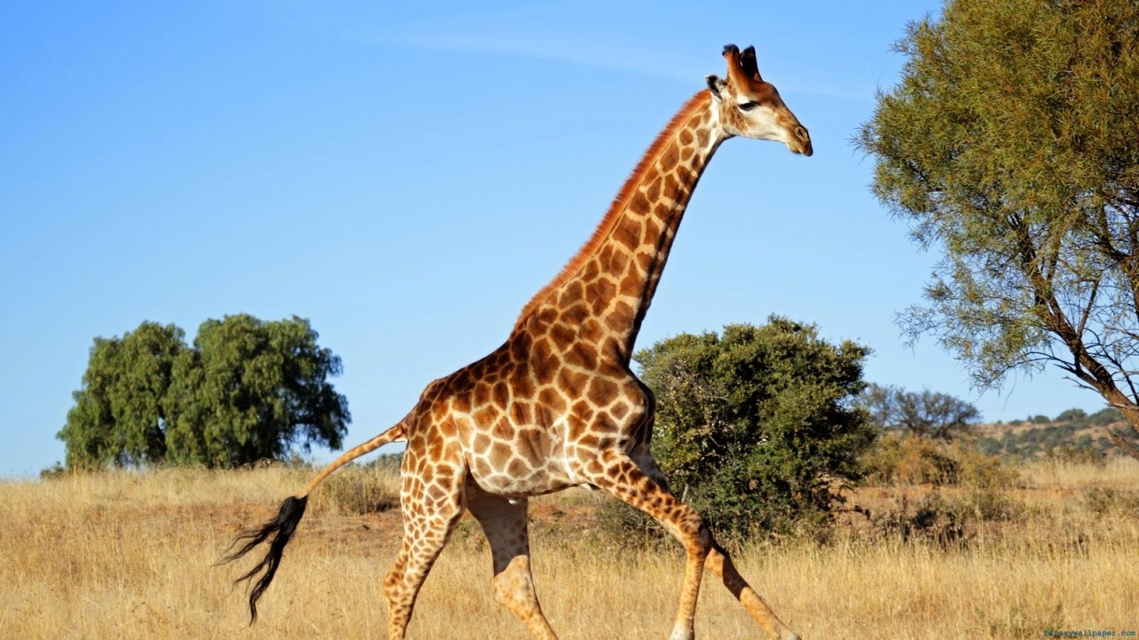 gratis bilder giraff