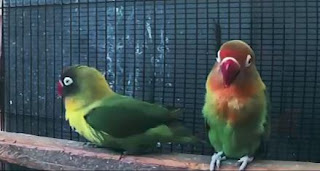 cara bikin lovebird konslet