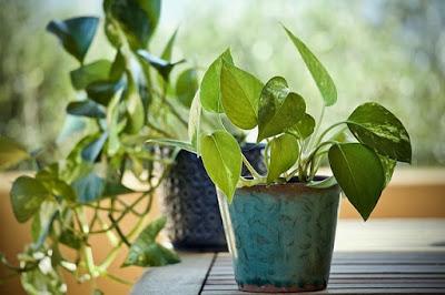 money plant, pothos