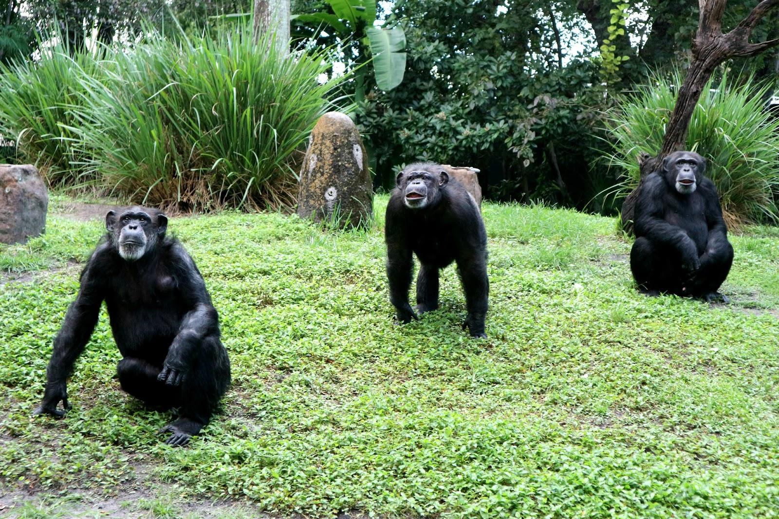 Busch Gardens Myombe Reserve Chimpanzees