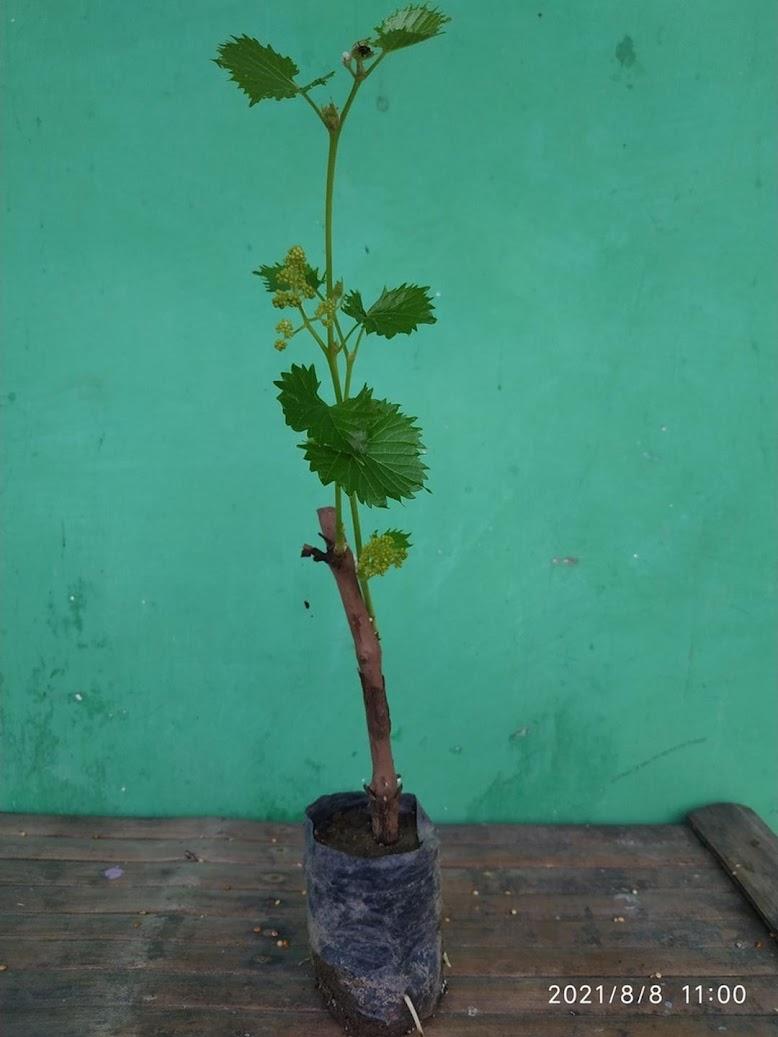 Bibit Anggur Sudah Berbunga perpaket isi 3 Probolinggo