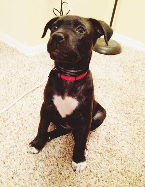Labrador Retriever is a chimera