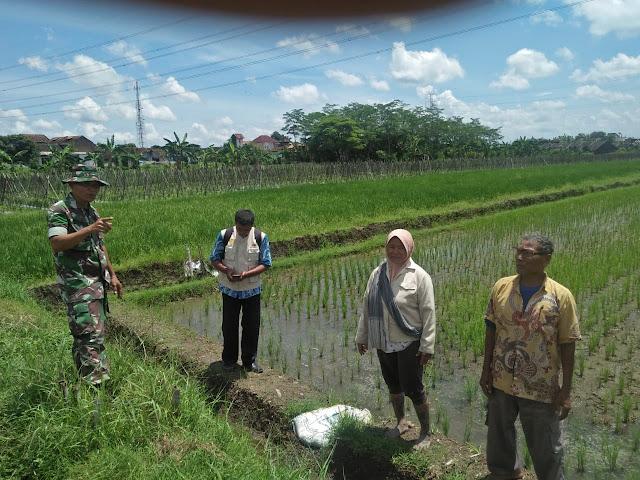 Upaya Khusus Babinsa untuk Tingkatkan Hasil Pertanian
