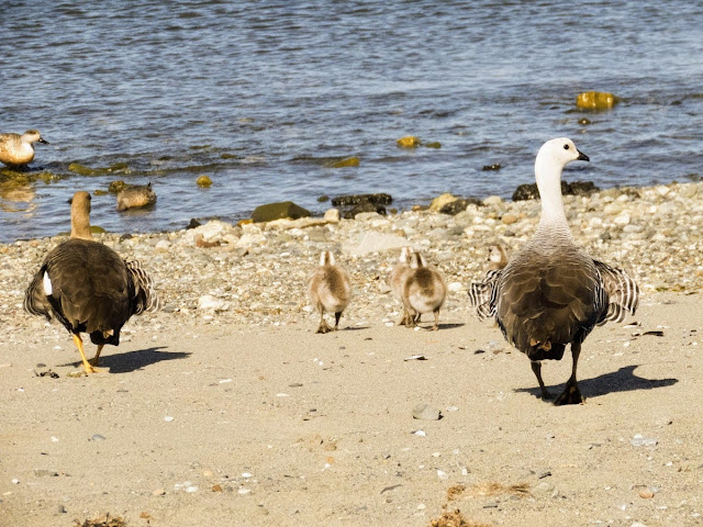 Patagonia Birds: Upland geese and chicks on the shores of the Strait of Magellan in Punta Arenas