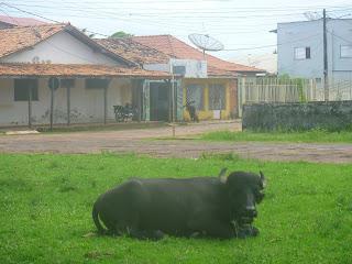 Búfalos pastando no Centro de Soure/PA.
