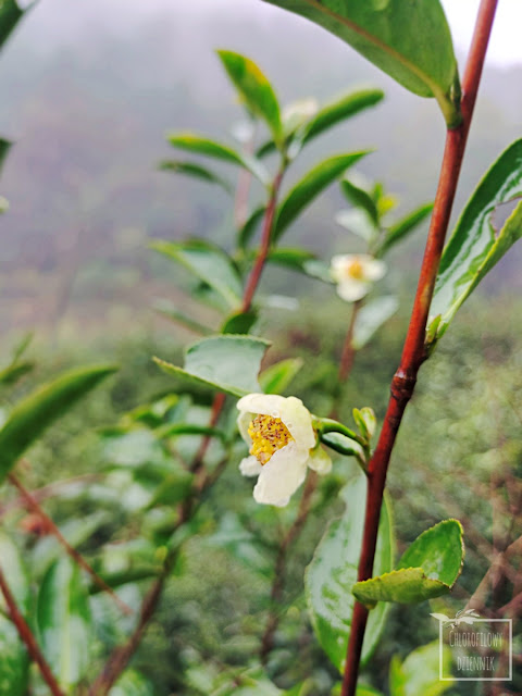 Tarasy herbaciane uprawa herbaty w Chinach krzewy herbaciane jak rosną i wyglądają pielęgnacja uprawa hodowla herbaty w Azji plantacja opis nasiona opuszczona plantacja herbaty w chinach