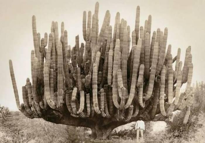 A very large organ pipe cactus in Baja California, 1895.