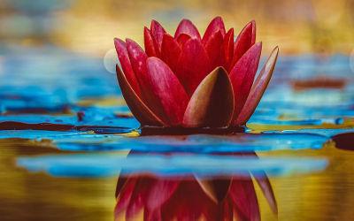 Lotus Rouge sur l'Eau - Fond d'écran en Ultra HD 4K 2160p