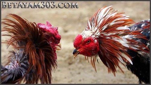 Adu Jago Online Atau Sabung Ayam Live Streaming