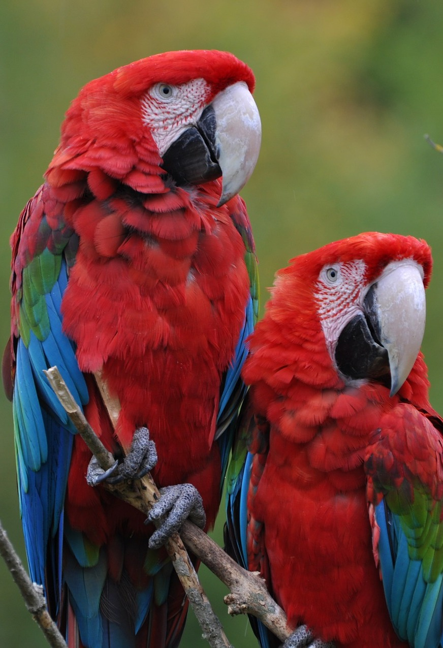 Two beautiful macaws.