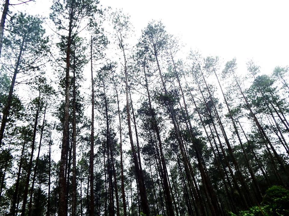 Hutan pinus di pinggir jalan menuju tangkuban perahu