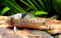 Jenis Ikan Corydoras blochi