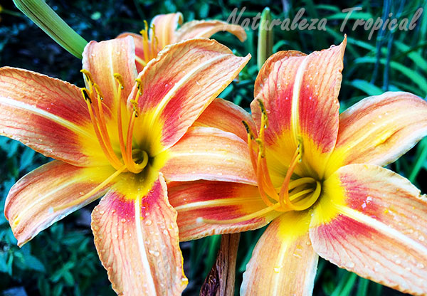 Flores del Lirio de un día, Hemerocallis fulva